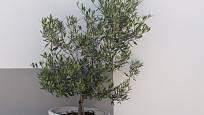 Olivovník pěstovaný v nádobě jako přenosná rostlina.