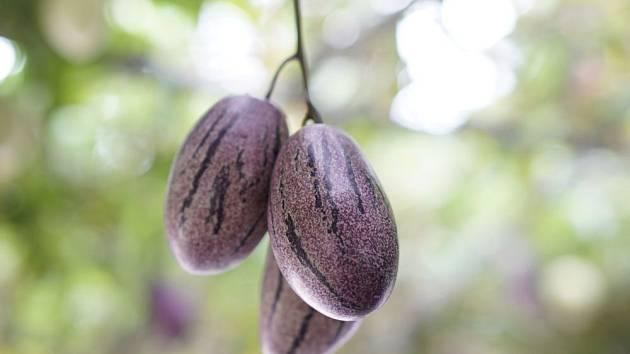 Zrající plody pepína, Solanum muricatum