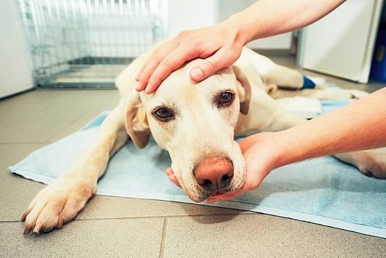 Včas pro vedený operační výkon může psa zachránit.