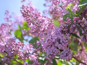 Kvetoucí šeřík bývá ozdobou jarní zahrady.