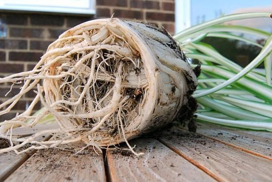 Zelenec s příliš přerostlými kořeny - je čas jej přesadit.