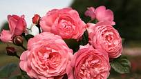 Růže odrůdy Flora Olomouc