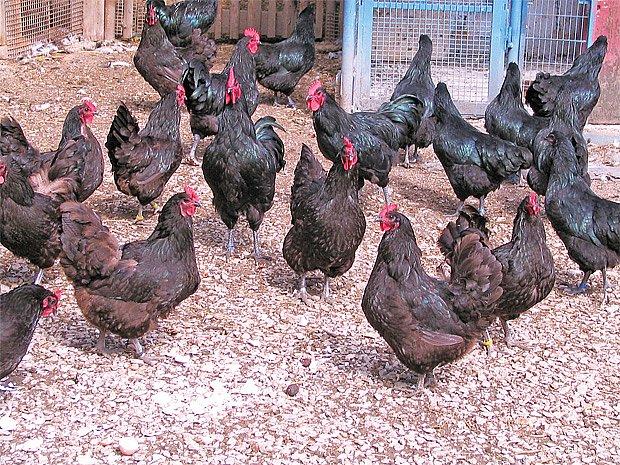 Dvacetihlavé hejno snáší denně dvanáct až čtrnáct vajec