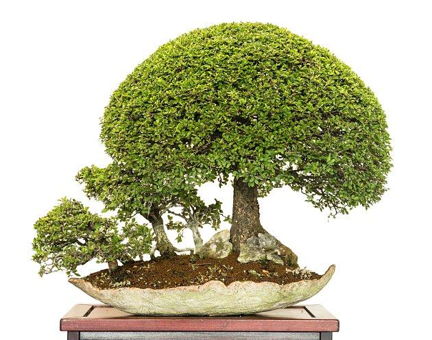 Ukázková bonsaj z mochny.