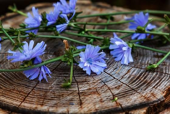 Čekanka obecná kvete blankytně modrými květy.