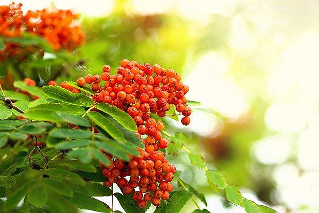 jeřáb obecný, odrůda 'Moravský sladkoplodý' (Sorbus aucuparia varieta edulis)