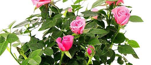 mini růže