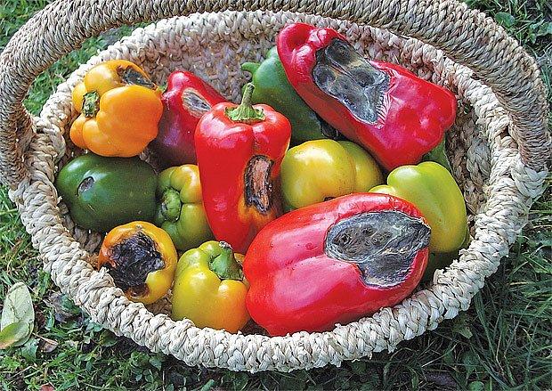 Nedostatek vápníku u paprik