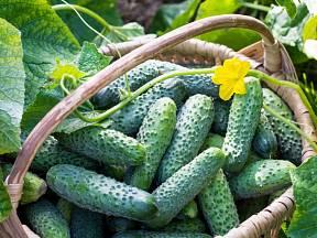 Okurky jsou velmi plodné, z jedné rostliny můžeme sklidit spoustu plodů