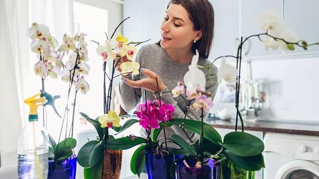 Za správnou péči se nám orchideje odvděčí nádhernými květy.