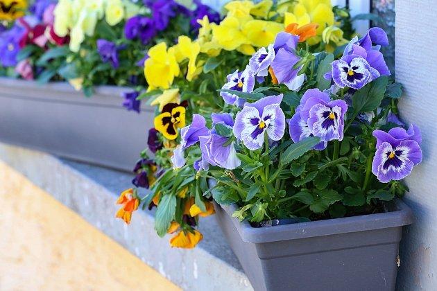 Maceška zahradní, nebo také violka zahradní, je jednoletá až dvouletá bylina