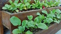 K pěstování ředkviček poslouží i truhlík na balkoně.