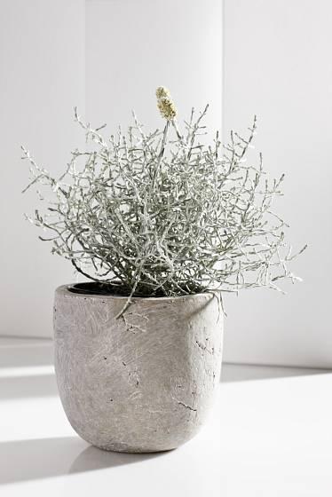Krásnohlávek můžeme pěstovat i jako pokojovou rostlinu.