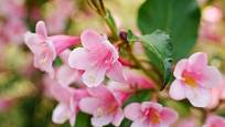 weigelie růžová (Weigela florida)