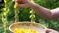 Květy divizny sbíráme postupně, jak se rozvíjejí