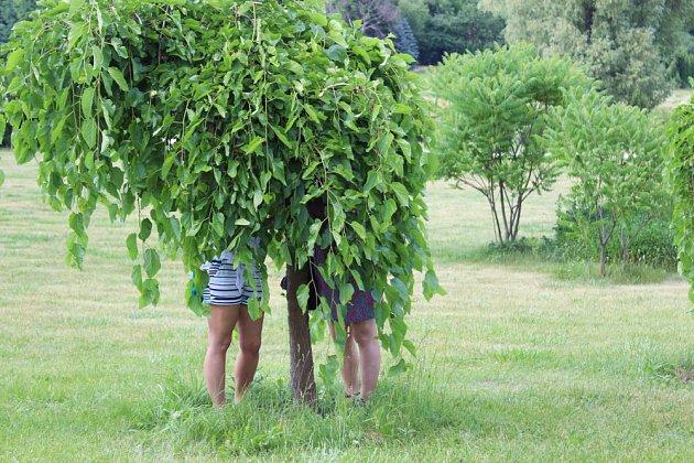 Převislý kultivar moruše je ovocný a dekorativní stromek vhodný i pro menší zahrady