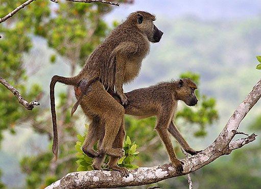 Opice se udrží na větvi v jakékoli situaci