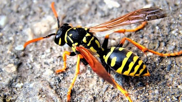 Jak zlikvidovat vosí hnízdo v zemi?