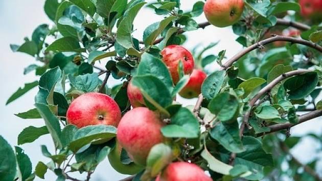 Jestliže chcete mít z ovocných stromů radost celé dlouhé roky, měli byste zvláště ty mladé chránit před mrazem.