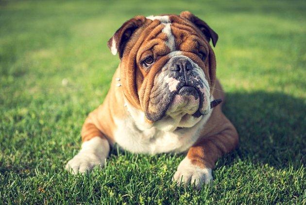 Buldoci jsou psi, za které utratíme nejen při pořízení, ale i u veterináře spoustu peněz.