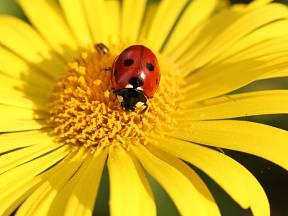 Slunéčko sedmitečné je v zahradě velmi užitečný pomocník.