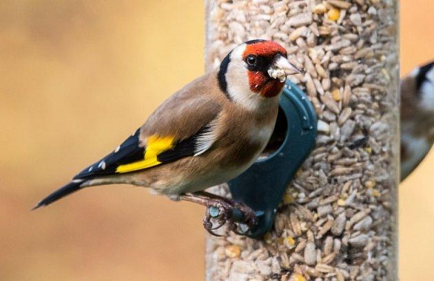 Stehlík, jeden z nejpestřejších hostů, na samonásypném krmítku nepohodlném pro holuby