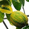 citroník panašovaný