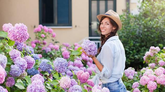 Květenství hortenzií jsou nádherná po celé léto.