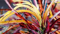 Kultivary s úzkými listy jsou méně běžné
