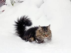 Norské lesní kočce hluboký sníh nevadí.