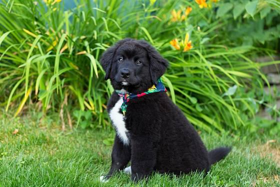 Srst těchto psů vyloženě láká k mazlení a pohlazení.