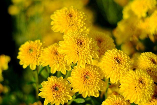 Pěstování chryzantém je jednoduché.