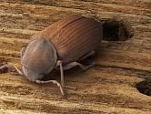 Červotočů existuje hned několik druhů, například červotoč proužkovaný, umrlčí, peřenitý, kostkovaný a hnědý.