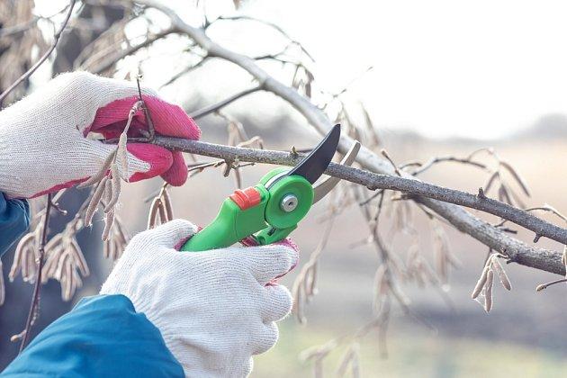 Řez meruněk se provádí na jaře a v létě