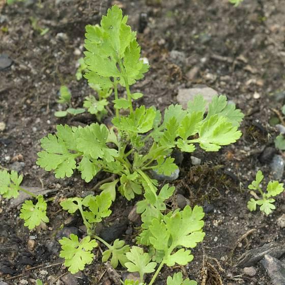 Mladá rostlina řimbaby.