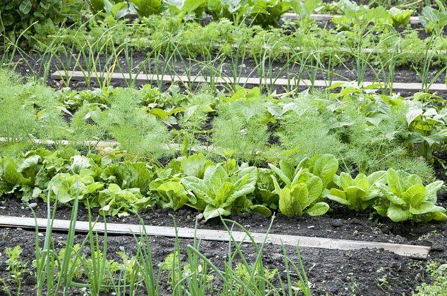 Záhon s listovou zeleninou a jednoletými bylinkami