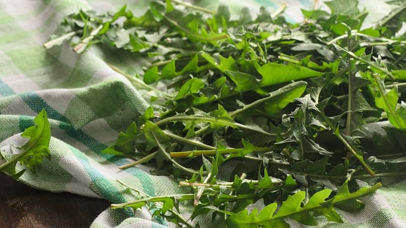 Jarní bylinky: pampeliška (smetánka lékařská)