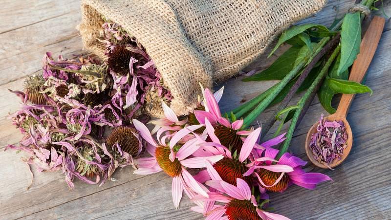 Echinacea působí jako přírodní antibiotikum jak proti virům, tak bakteriím.