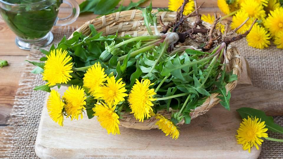 Pampeliška je léčivá od kořene po listy