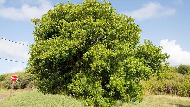 Mancinella obecná je nejnebezpečnější strom na světě.