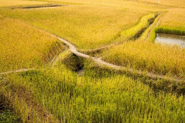 Pole kmene Apatani se zavlažovacím kanálem