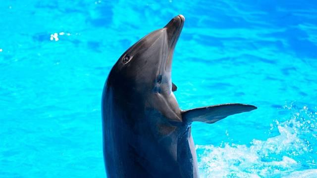 Delfíni žijí vhejnech (stádech) a vzájemně si pomáhají, jsou schopni komunikovat a vydávají asi deset variant různých zvuků.