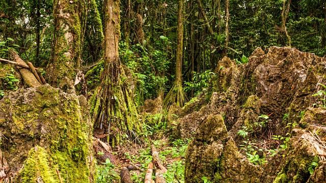 Chodící stromy v Amazonii