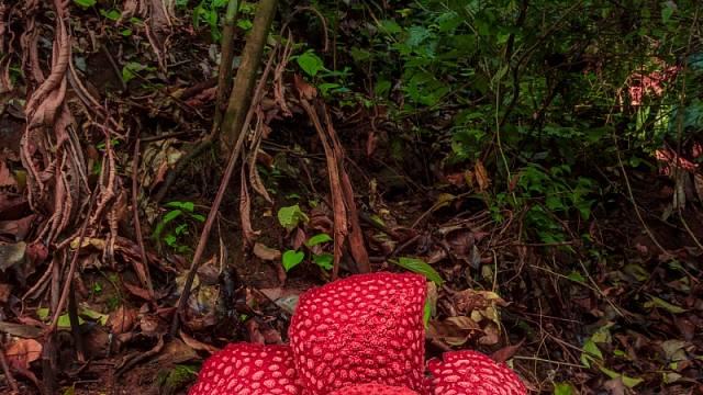 Raflesia gadutensis vyfocená v oblasti tropických lesů Bengkulu, Indonésie
