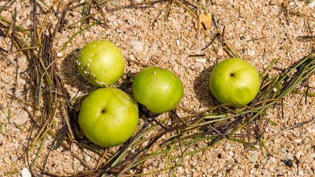 Snadno byste si tuto nevinně vypadající dřevinu mohli splést s planou jabloní