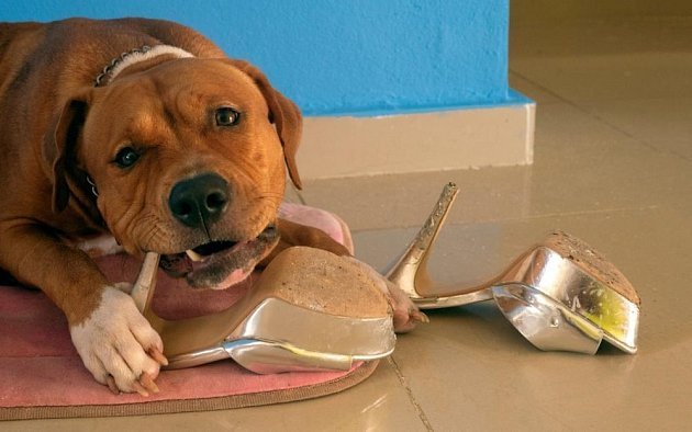 Neplechu doma umí nadělat každý pes.
