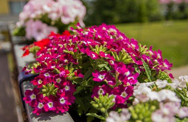 K bohatému kvetení verbeny potřebují hodně vody i hnojiva.