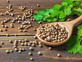Léčivé účinky koriandru jsou známy od starověku.