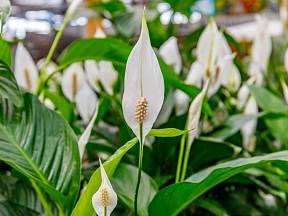 Ideální pokojová rostlina by měla být velice dekorativní, a přitom nenáročná na pěstování
