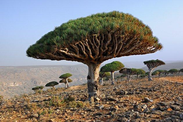 Dračinec rumělkový roste pouze na ostrově Sokotra.